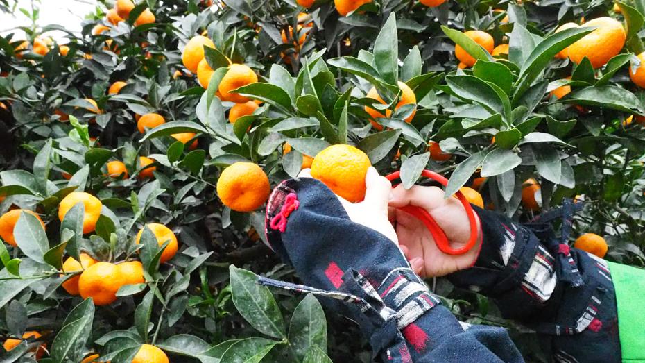 たわわに実った桜島小みかんの収穫