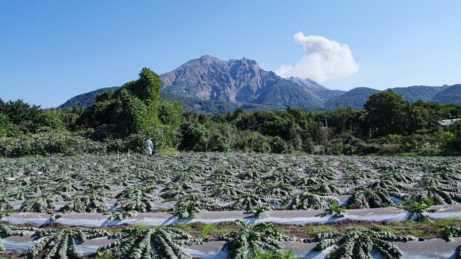 収穫間近の桜島大根が並ぶ桜島の麓の畑