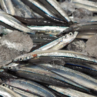 鹿児島県全域で獲れる銀色に輝くきびなごキビナゴ
