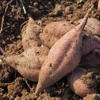 種子島の安納芋