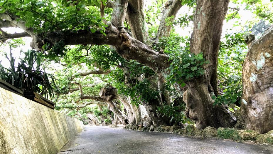 加計呂麻島-「男はつらいよ」のロケ地にもなった諸鈍のデイゴ並木