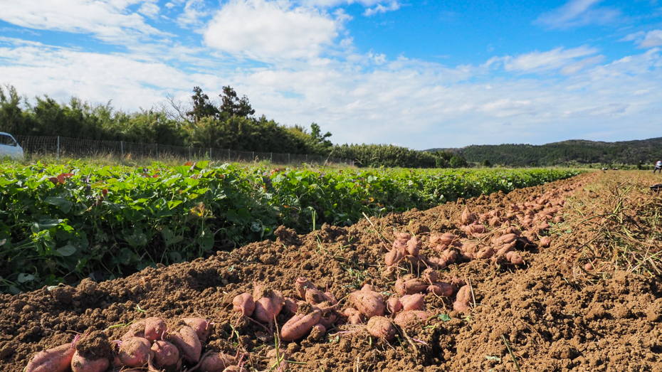 種子島-安納芋の収穫風景