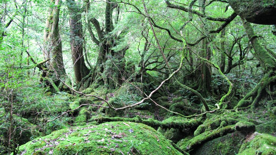 世界自然屋久島-白谷雲水峡の苔むす森